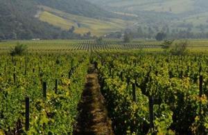 Tutunjian Vineyards